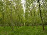 Poplar Tree Plantation.