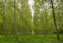 Poplar Tree Plantation.