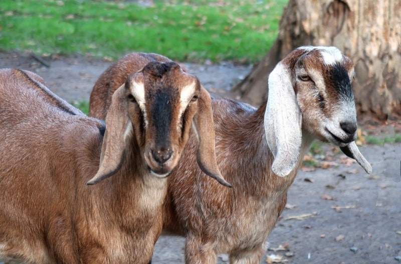 Some facts of Goat Farming.