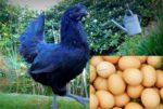 Kadakanath Egg Production.