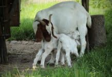 Profitable Goat Farming In India.