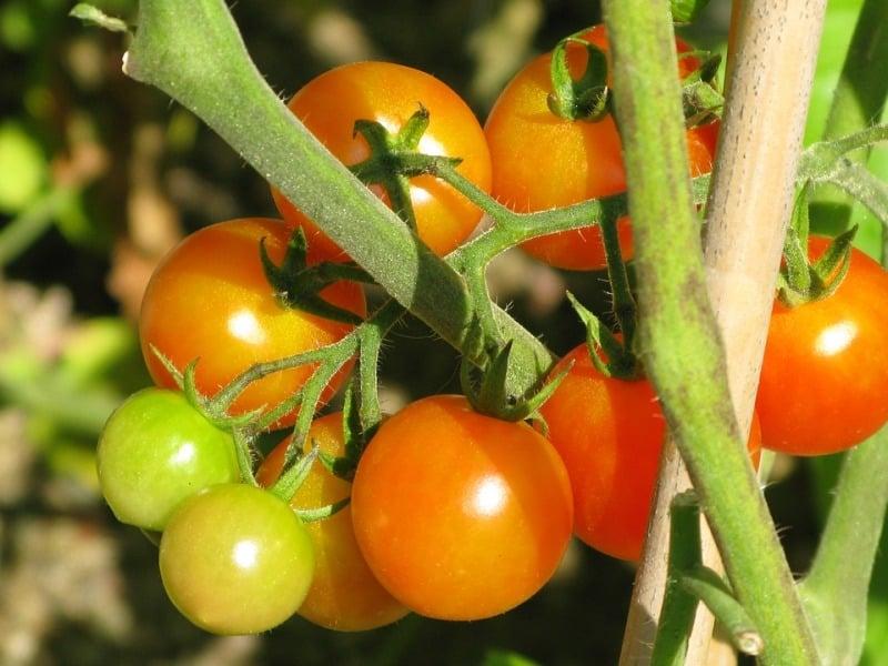 Best Tomato Variety.