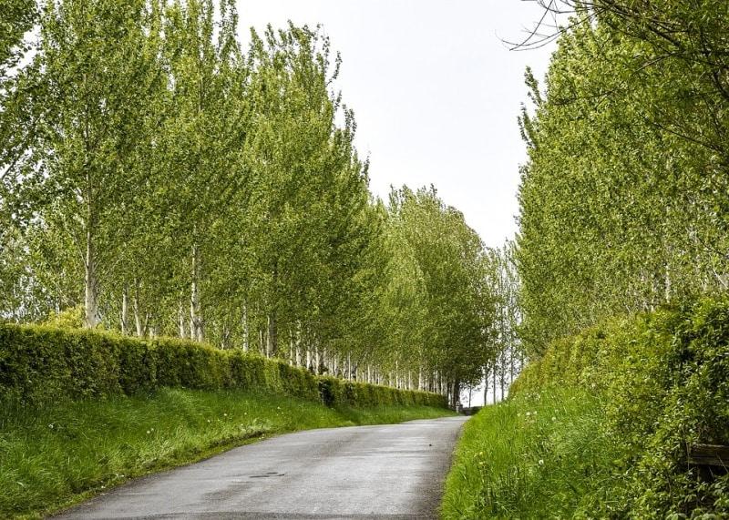 Poplar Trees Yield.