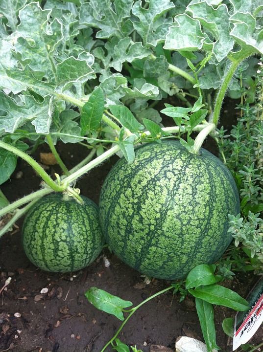 Growing Stages of Watermelon.