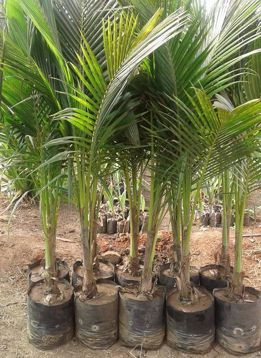 Hybrid Coconut Planting Material.
