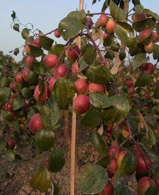 Apple Ber Yield.