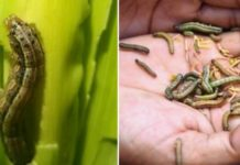 Fall Armyworm Control Methods.