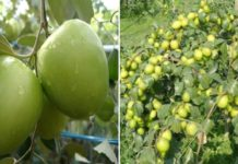 Apple Ber Cultivation Income.