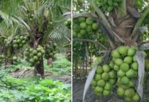 Hybrid Coconut Cultivation.
