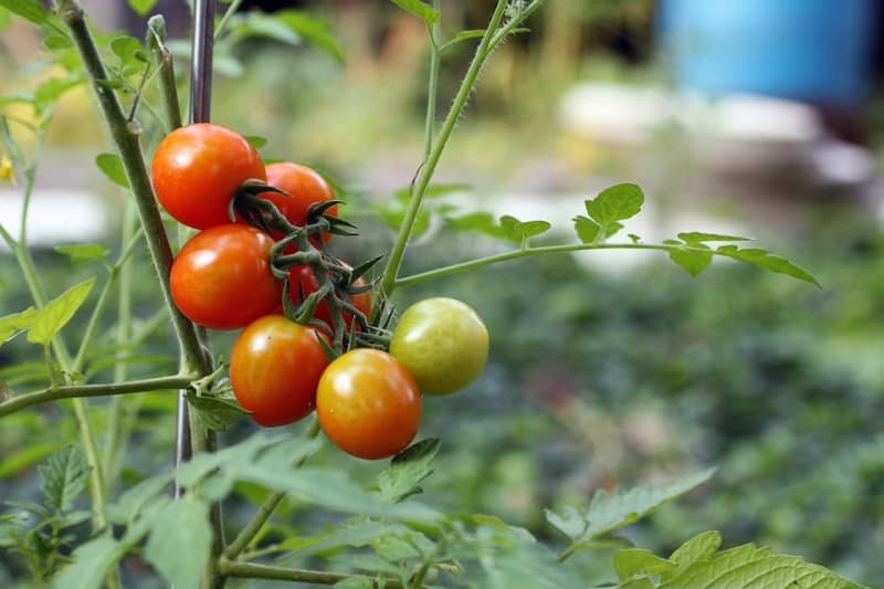 Tomato Agriculture in Haryana.