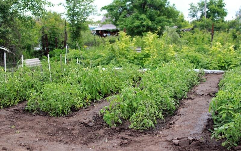 Tomato Plantation.