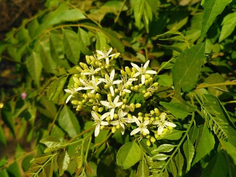 Curry Leaf Plant.