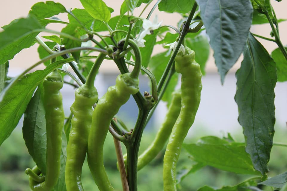 Chilli Farming Profit, Cost, Project Report (Pepper) | Agri Farming