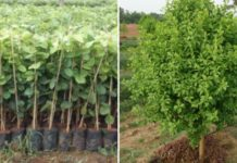 Red Sandalwood Plantation Profit.