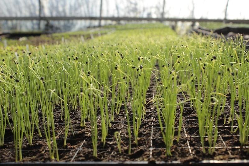 Organic Garlic Field.