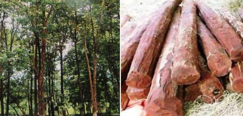 Red Sandalwood Trees.