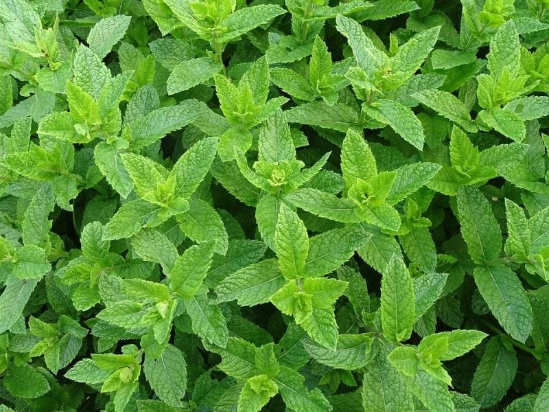 Organic Mint Farming.
