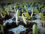 Vegetable Seed Germination.