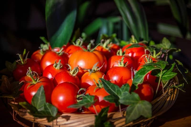 Harvest and Yield of Winter Tomatoes.