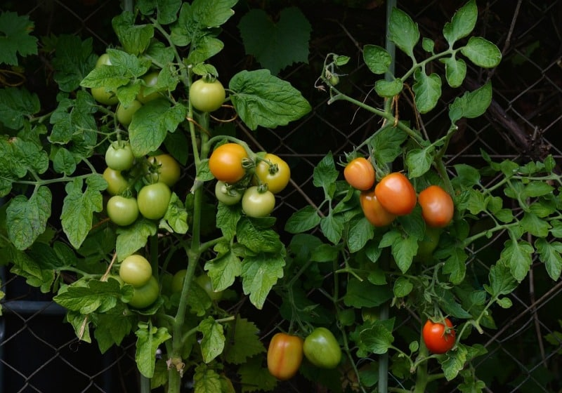 Light Requirement for Winter Tomatoes.
