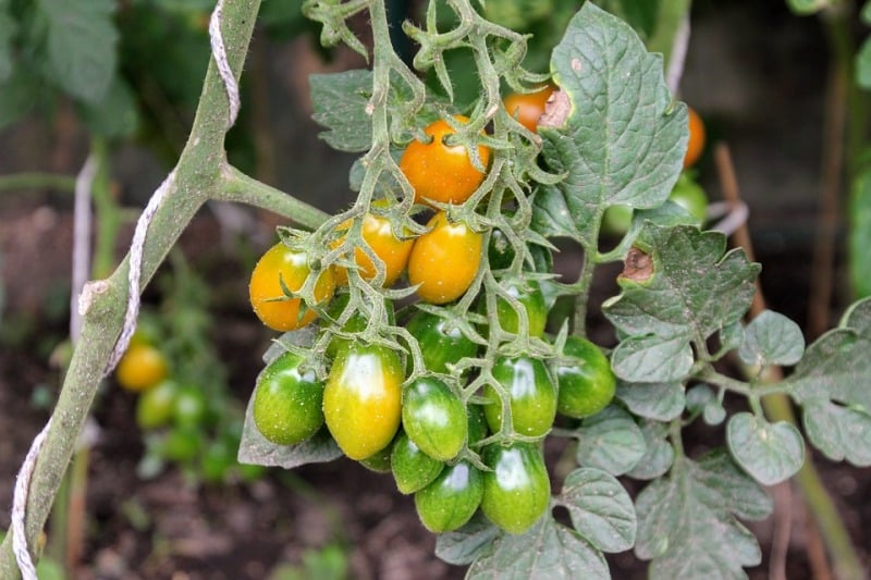 Manuring Winter Tomato Plants.