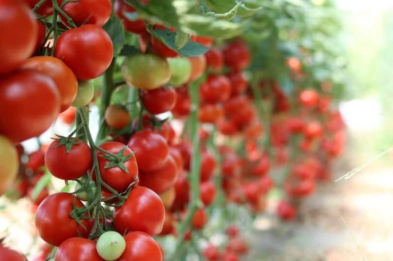 Greenhouse Tomato Farming in Maharashtra.