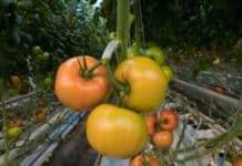 Tomato Farming in Maharashtra.