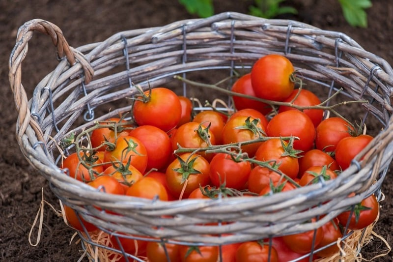 Harvesting Tomatoes.