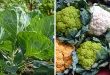 Cauliflower Cultivation Income.