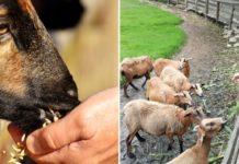 Sheep Feed Formulation.