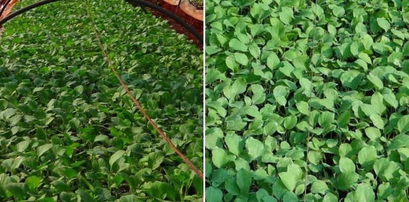 Eggplant Seedlings in Polyhouse.