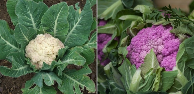 Cauliflower Farming Profits (Gobi).