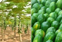 Papaya Farming in Polyhouse.