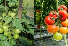 Tomato Farming in Polyhouse for Profit.