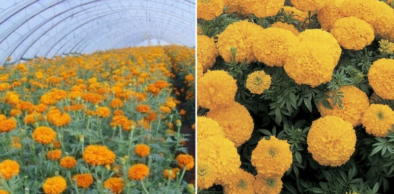 Growing Marigold in Polyhouse.