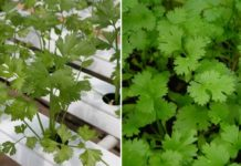 Coriander Farming in Polyhouse.