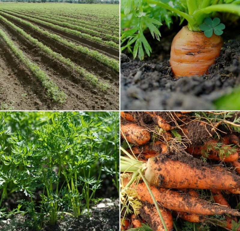 Carrot Cultivation Project Report.