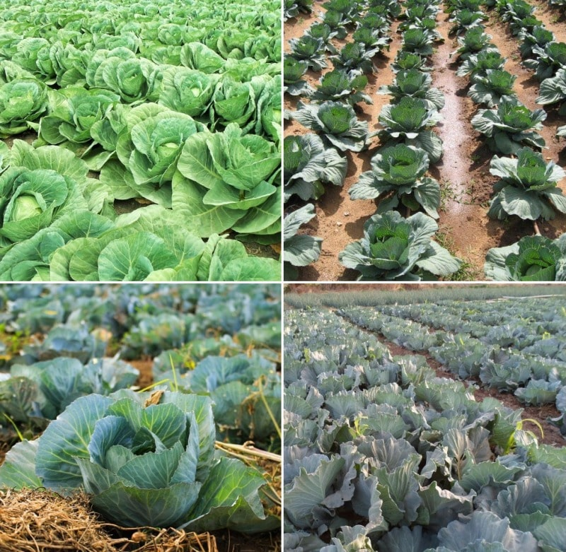 Cabbage Cultivation Field.