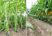 Polyhouse Vegetable Farming.