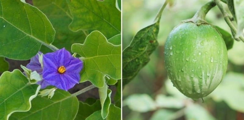 Variety of Eggplant.
