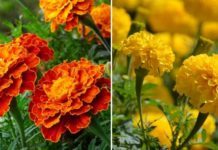 Marigold Farming in Polyhouse .