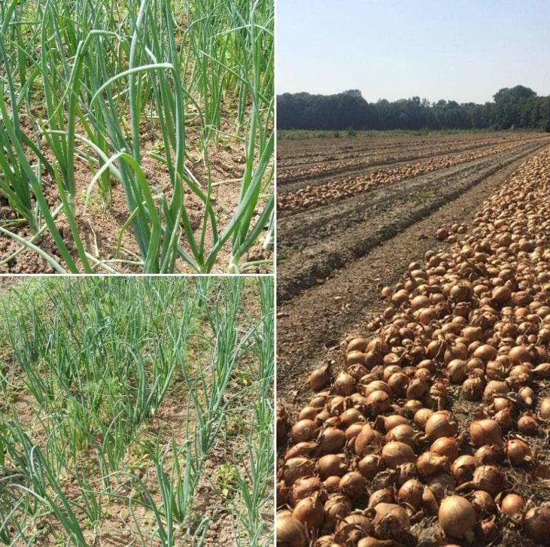 Onion Farming in 1 Acre.