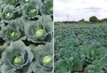 Cabbage Cultivation Income.