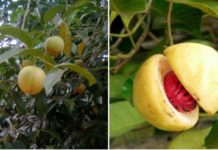 Nutmeg Cultivation Project Report.