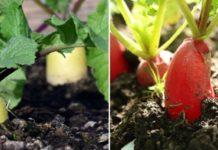 Radish Cultivation Income.