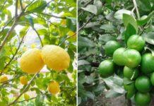 Lemon Cultivation Income, Cost