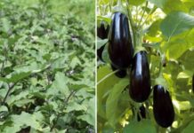 Eggplant Farming in Polyhouse for Profit.