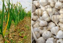 Garlic Cultivation Income, Cost, Project Report