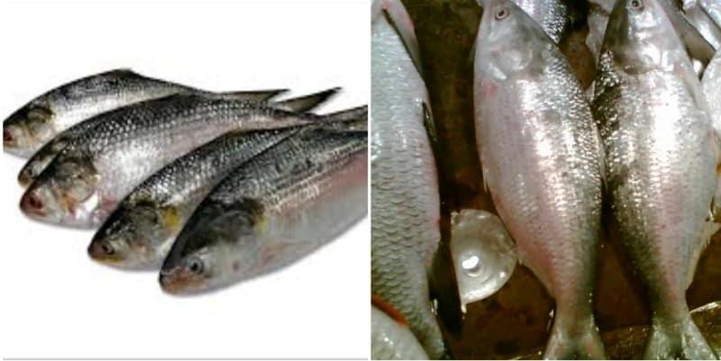 Hilsa Fish Farming.