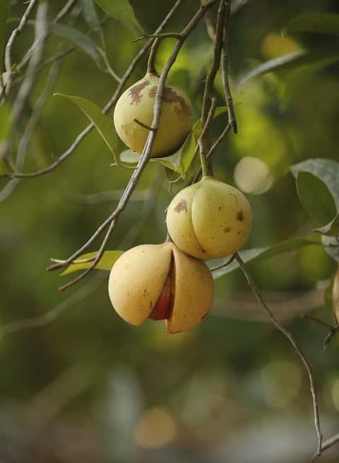 Nutmeg Income per Acre.